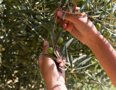 olives-field